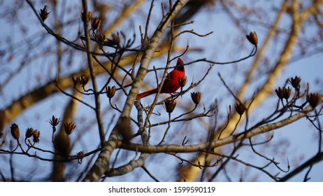 A Cardinal sitting in a Poplar Tree, eating the trees seeds, looking out at the sunset.
