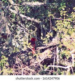 Cardinal sitting in tree looking back
