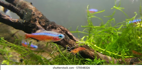 Cardinal Tetra in planted tank.The cardinal tetra is a freshwater fish of the characin family of order Characiformes. It is native to rivers in South America.