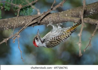 Cardinal Woodpecker, Mosi-oa-Tunya National Park, Livingstone, Zambia.