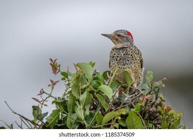 Cardinal woodpecker perched in bush facing left