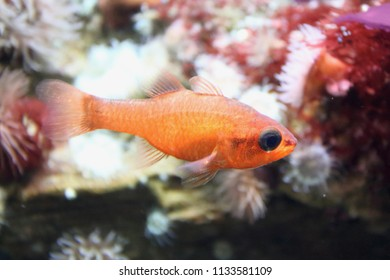 The cardinalfish (Apogon imberbis), also known as the Mediterranean cardinalfish or king of the mullets, is a species in the family of Apogonidae (cardinalfishes)