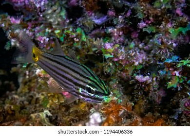 Cardinalfish reflects bioluminescent colors of surrounding coral while feeding. Indian Ocean, Maldives
