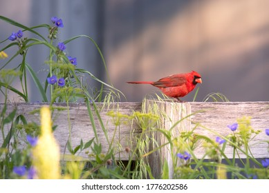 Cardinalis cardinalis perched on a wooden fence post with purple wild flowers in the foreground and some copy space