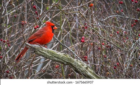 Cardinals in the bushes with berries