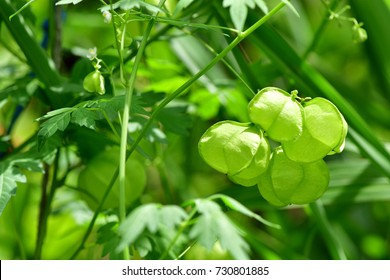 Cardiospermum halicacabum (Balloon vine, Balloonvine; Heart seed; Heart pea, Love in a puff, Smooth leaved heart Pea) ; Showing the greenery cluster of triangle fruits, harmony & clinging on vines