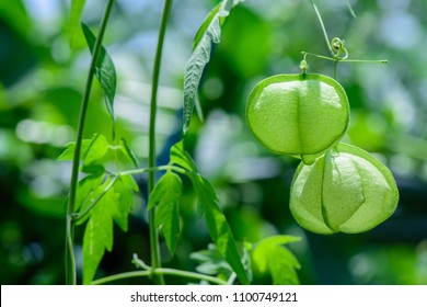 Cardiospermum halicacabum (Balloon vine, Heart pea, Love in a puff) ; A green pentagon, long vine creeping island tangled up on a tree or by branches. Fruit is heart-shaped, bulbous & hanging bulging.