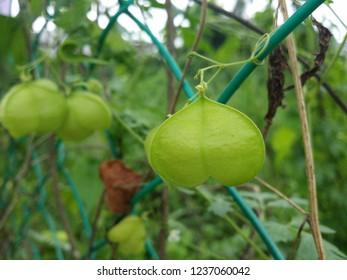 Cardiospermum halicacabum plant