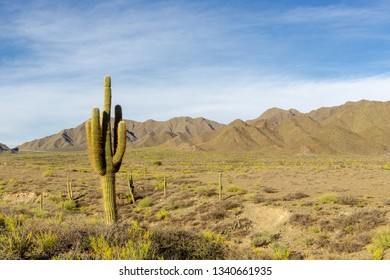 Cardon Cactus (Trichocereus pasacana) In The Andes Montain Landscape