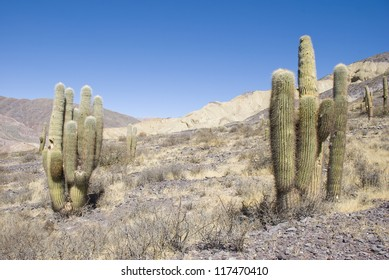 Cardon cactus or Trichocereus sp. (protected species), Purmamarca region, province of Jujuy, Argentina