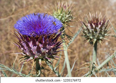 Cardoon, Artichoke Thistle or Globe Artichoke in flower and full of busy Bees, growing wild there are also many cultivated forms, Cynara cardunculus.
