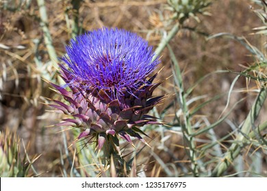 Cardoon, Artichoke Thistle or Globe Artichoke in flower, growing wild there are also many cultivated forms, Cynara cardunculus.
