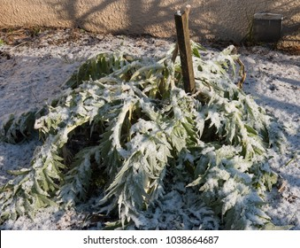 Cardoon or Artichoke Thistle Plant (Cynara cardunculus) Covered with a Light Dusting of Snow in a Vegetable Garden in Rural Devon, England, UK