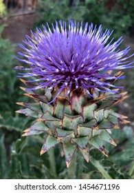 Cardoon blossom in the garden