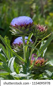 The cardoon (Cynara cardunculus), also called the globe artichoke, is a thistle in the sunflower family.