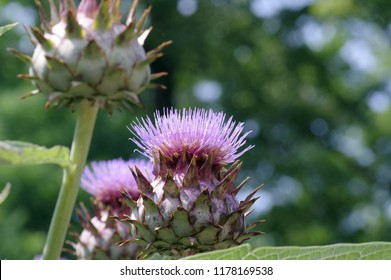 Cardoon in the Medicinal botanical garden
