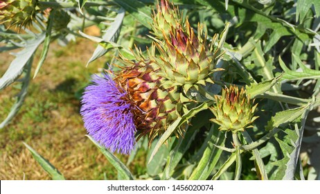 Cardoon plant in bloom close up. Also known as Artichoke thistle or Globe artichoke.