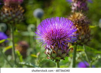 Cardoon plant  in bloom. Wild Artichoke thistle also called Wild Cynara Cardunculus or Cardoon. The flower bud of wild cardoon.
