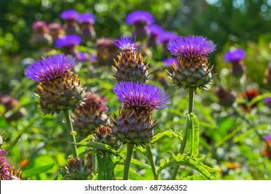 Cardoon plant  in bloom. Wild Artichoke thistle also called Wild Cynara Cardunculus or Cardoon. The flower bud of wild Cardoon