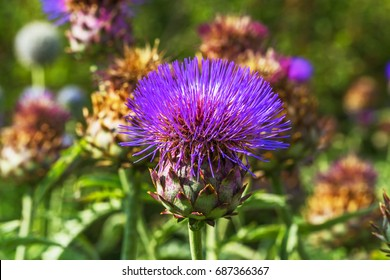 Cardoon plant  in bloom. Wild Artichoke thistle or Wild Cynara Cardunculus or Cardoon. The flower bud of wild cardoon