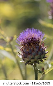 Cardoon plant (Cynara cardunculus) or artichoke thistle a source of biodiesel fuel. Close-up of a single purple flower head of this edible wild plant.
