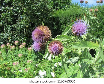 Cardoon thistle flowers