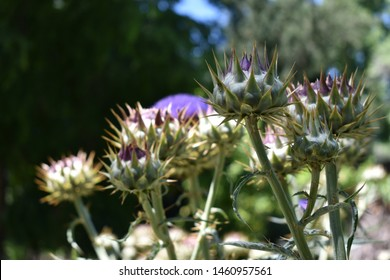 Cardoon, or wild artichoke (Cynara cardunculus) growing in the sun, Spain.