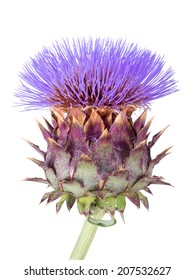 Cardoon,Cynara cardunculus, aka artichoke thistle, cardone, cardoni, carduni or cardi. Isolated on white background