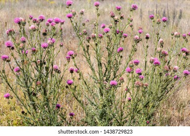 Carduus acanthoides. Common thistles with purple inflorescences.