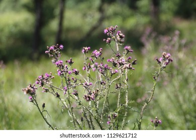 Carduus acanthoides, known as the spiny plumeless thistle, welted thistle, and plumeless thistle, is a biennial plant species of thistle in the Asteraceae—sunflower family