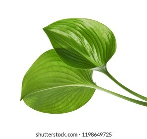 Cardwell lily leaf, Green circular leaves isolated on white background, with clipping path