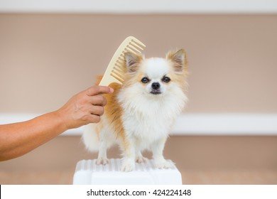 care for chihuahua dog hair with comb