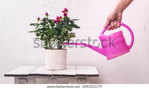 Care of houseplants: watering roses in a pot from a watering-can on a background
