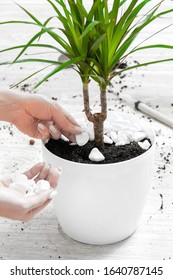 Care for indoor plants. Dracaena on a gray wooden floor. Houseplant transplant. The girl decorates a decorative pebble pot with dracaena.