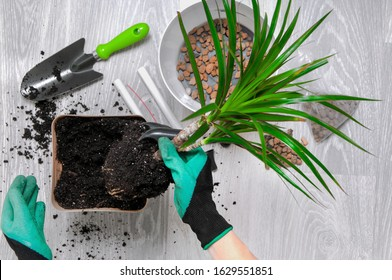 Care for indoor plants. The girl transplanted dracaena. Dracaena, watering can, spray gun, soil, drainage, moisture measuring tubes, shovel on a gray wooden floor. Palm trees care.