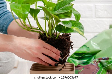 Care for indoor plants. Plant transplant. The girl transplanted epipremnum.