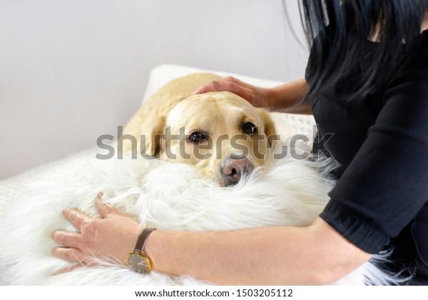 Care love attention pet Labrador
