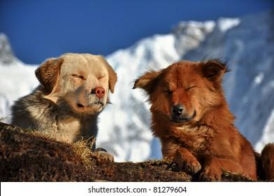 Carefree Himalayan dogs