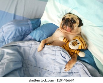 Carefree restful little pug dog lying on the blue bedclothes, embracing tiger dolls while having pleasant dreams. Pets with freckles sleeping in bed after tired all day. Restful animal