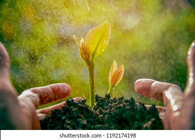Careful hands holding and caring green young plant.Raining season great for sprout growing out from soil in the morning light.
