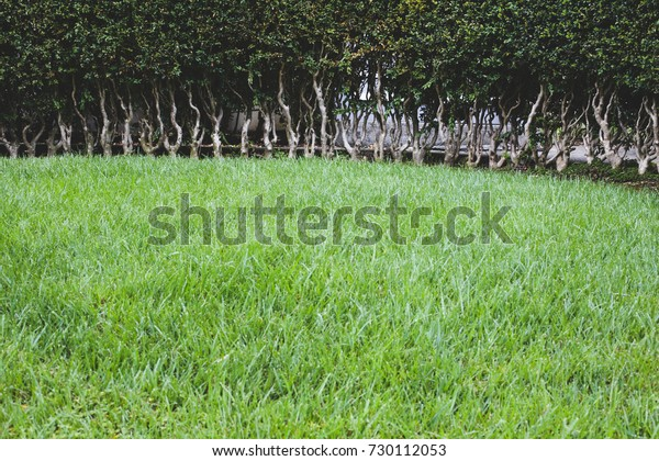 A carefully pruned hedge in a yard of green grass.
