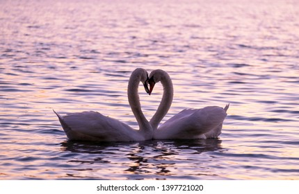 Caressing couple of white swand on the lake on the sunset.