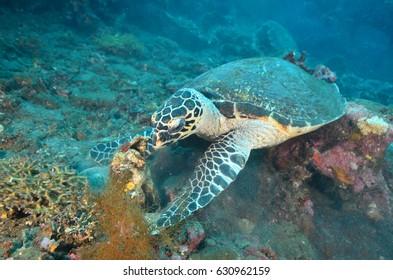Caret Turtle