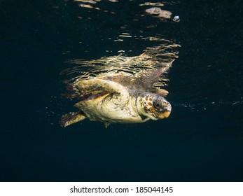 Caretta caretta Turtle swimming at Mediterranean sea