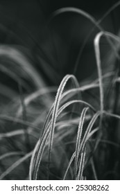 CAREX GRASS WITH FROST