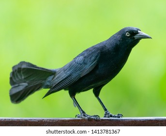 Carib grackle or Greater Antillean blackbird on green background. Birdwatching and wildlife