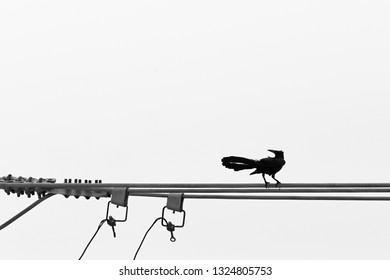 Carib grackle (Quiscalus lugubris) perching on the electrical wire
