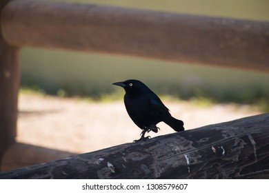 Carib grackle (Quiscalus lugubris) standing on a wooden fence