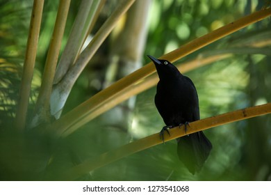 Carib Grackle sitting on palm tree in garden,  Trinidad and Tobago, black bird perching on branch, colorful and beautiful background, exotic adventure, Caribbean nature