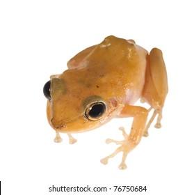 Caribbean coqui leaf frog (Eleutherodactylus portoricensis). Symbol of the island of Puerto Rico